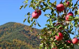 11月8日りんご